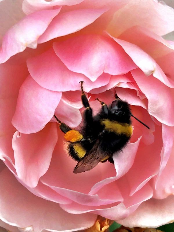postcard example - bee on rose